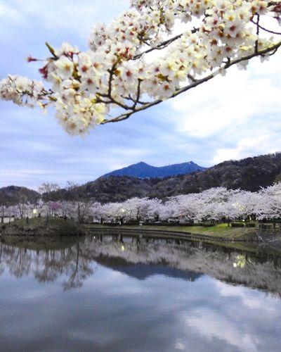夕暮れの筑波山を筑波山麓の大池公園桜並木から撮影