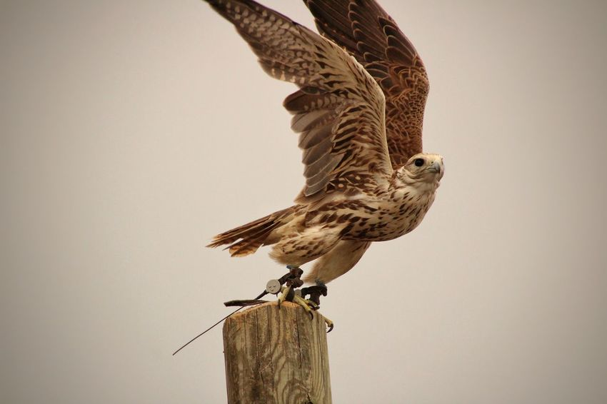 Bird Bird Of Prey Perching Animal Themes Sky Falcon - Bird Spread Wings Flapping Flight Animal Wing