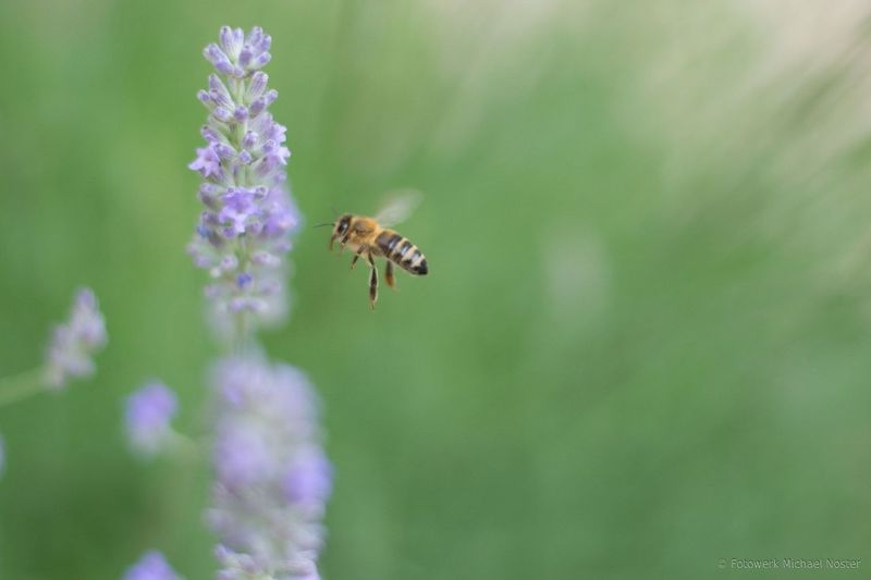 Flower Insect Animal Wildlife Nature One Animal Purple No People Plant Bee Summer Lavender