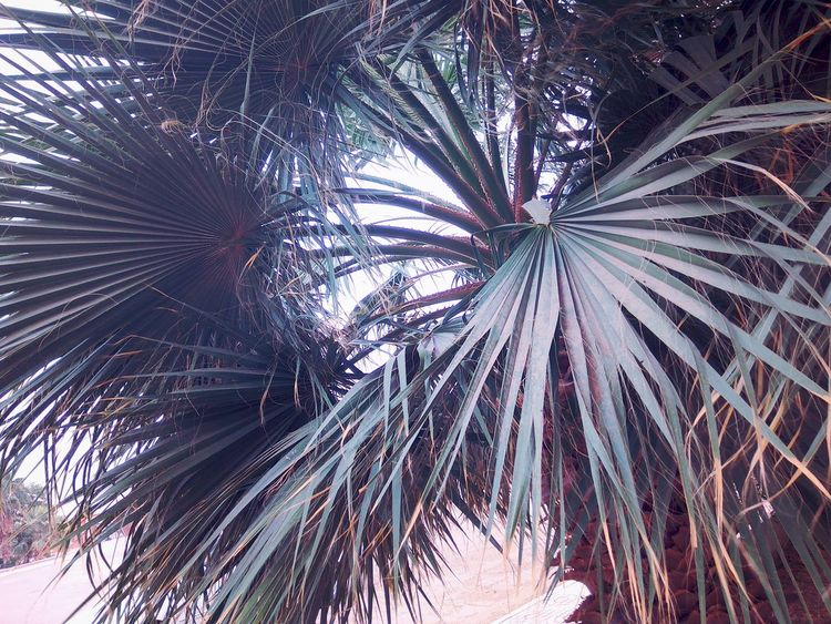 Palm Tree Outdoors Nature Beauty In Nature Taking Photos Adrar Playing With Camera Algeria Photography