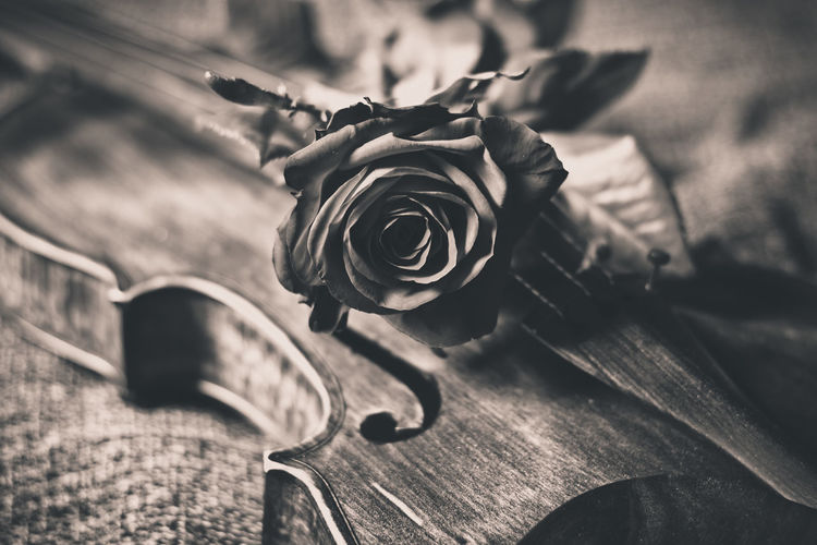 Close-Up Of Rose On A Violin