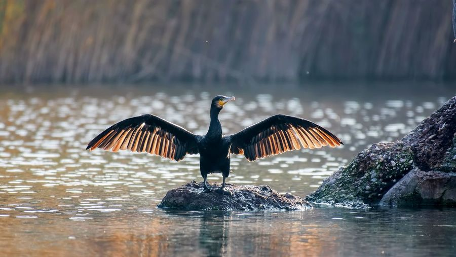 A cormorant spreading its wings widely and the feathers of the wings are illuminated by the sun.