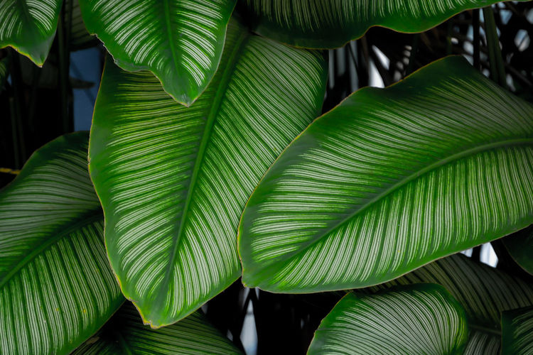 Green Color Leaf Plant Part Growth Plant Beauty In Nature Close-up Nature No People Backgrounds Day Natural Pattern Leaves Tree Pattern Outdoors Full Frame Freshness Botany Leaf Vein Palm Leaf