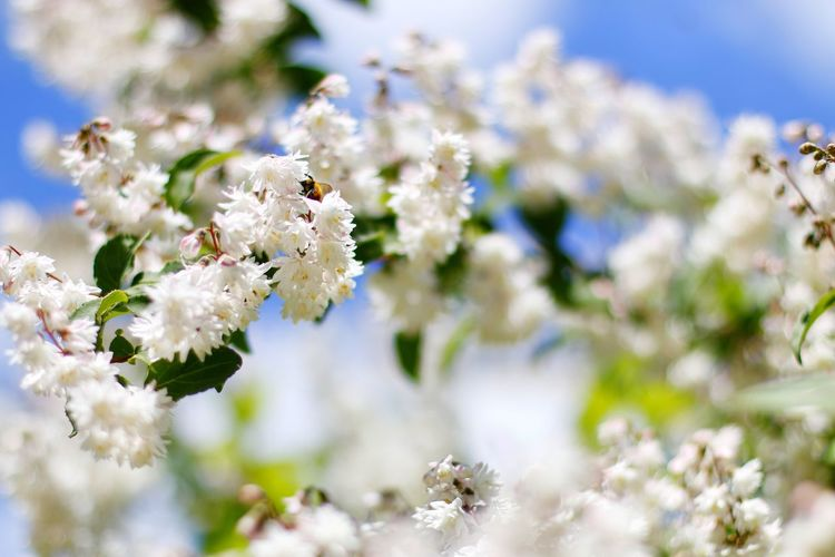 Beauty In Nature Blue Sky Branch Easter Ready Freshness Good Mood Many White Blossoms Nature Selective Focus Spring Fever Springtime Urban Spring Fever White White Color The Essence Of Summer