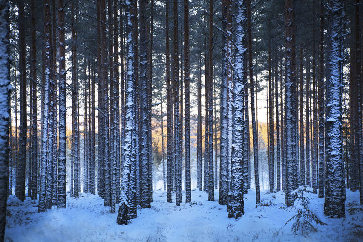 Panoramic View Of Trees In Forest During Winter
