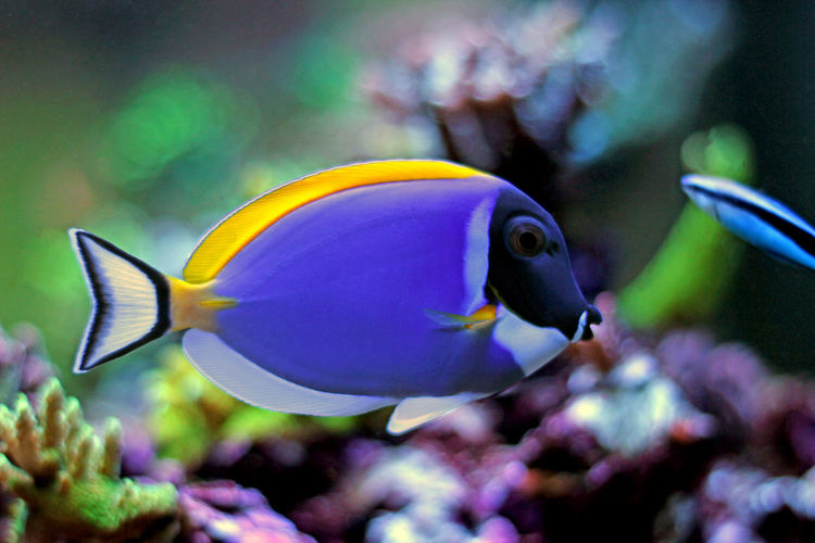 Acanthurus Leucosternon Reef Fish. Underwater World Aquarium Aquarium Beauty Aquarium Fish Aquarium Life Aquarium Photography Leucosternon Nature Powder Blue Tang Reef Reef Tank Reefer Saltwater Saltwater Aquarium Saltwater Fish Sea Life Single Surgeon Fish Surgeonfish UnderSea Underwater Underwater Life Underwater Photography