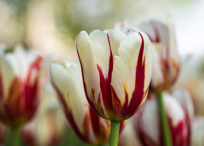 """""""One Tulip ~ One Canada"""" - Canadian Tulip Festival. Beautiful Red Beauty In Nature Blooming Close-up Day Flower Flower Head Fragility Freshness Growth Nature No People Outdoors Petal Plant Spring Spring Flowers Springtime Tulip Tulip Festival Tulips Flowers Tulips🌷 White"""