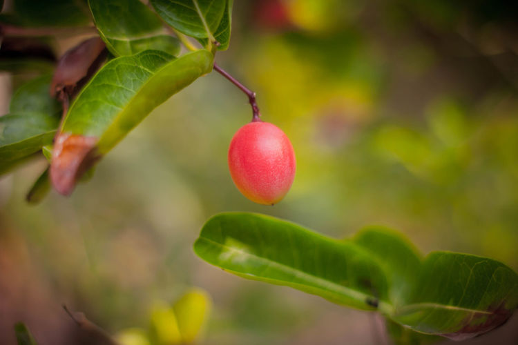 Beauty In Nature Close-up Day Focus On Foreground Food Food And Drink Freshness Fruit Green Color Growth Healthy Eating Leaf Nature No People Outdoors Plant Plant Part Plantation Red Ripe Selective Focus Tree Wellbeing