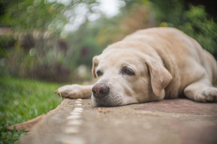 Close-up of dog resting on footpath