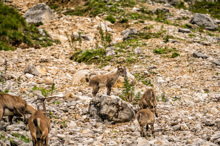 Alpine ibex family Alpine Ibex Capra Ibex Steinbock Ibex Cubs  Animal Themes Animal Mammal Group Of Animals Animals In The Wild Animal Wildlife Young Animal Vertebrate No People Land Nature Day Animal Family Standing Domestic Animals Medium Group Of Animals Three Animals Solid Rock Field