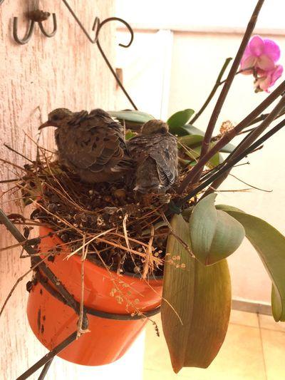 Pigeon Nestling Nestlings Nestling Bird Nest Animal Nest Bird Pigeon Nesting Nest Pigeon Nest Adapted To The City