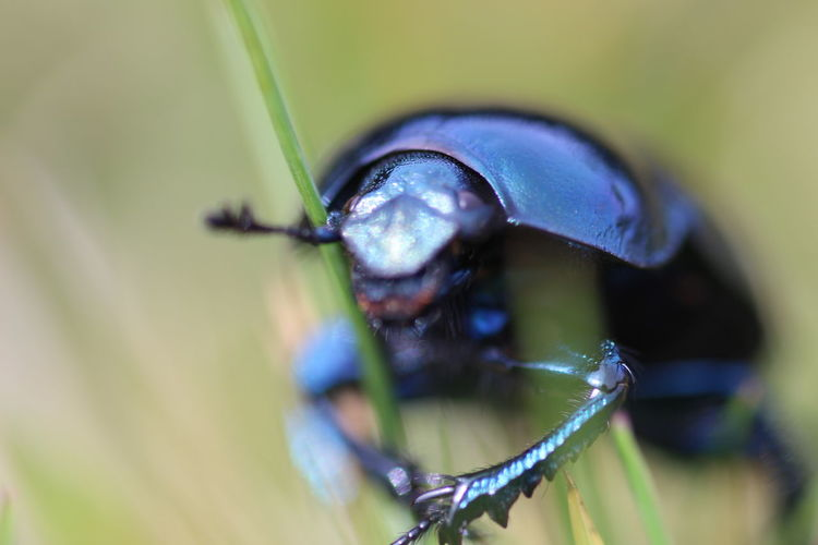 A beetle in the grass Macro Photography Scarab Animal Animal Themes Animal Wildlife Animals In The Wild Beetle Blue Close-up Day Focus On Foreground Geotrupes Stercorarius Insect Photography Nature No People One Animal Plant Selective Focus