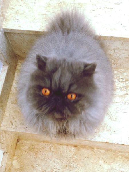 Mia! Cat Persian Beautiful Fluffy Gray Caramel Eyes Pets Corner