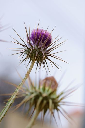 Flower Plant Flowering Plant Growth Vulnerability  Fragility Freshness Flower Head Beauty In Nature Close-up Nature Thistle Purple Petal Outdoors