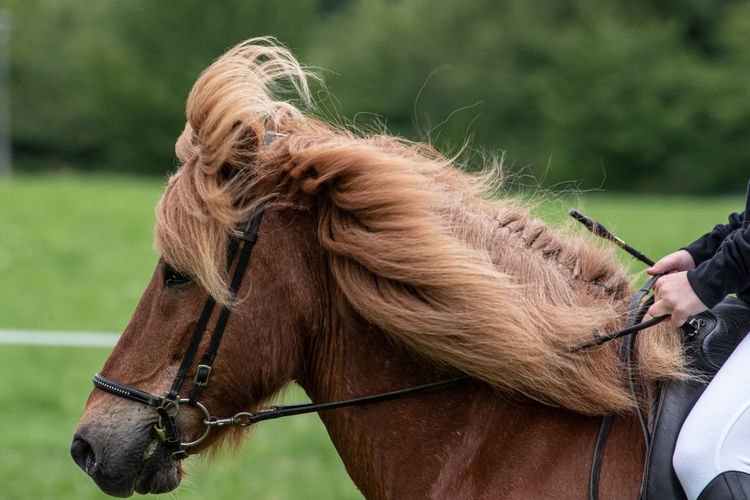Icelandic Horses Show in LWL Open Air Museum Detmold Icelandic Horse Riding Horseback Riding Domestic Mammal Domestic Animals Horse Animal Animal Themes One Animal Vertebrate Bridle Focus On Foreground Real People Brown Herbivorous Day Nature Hair Working Animal Outdoors Animal Head