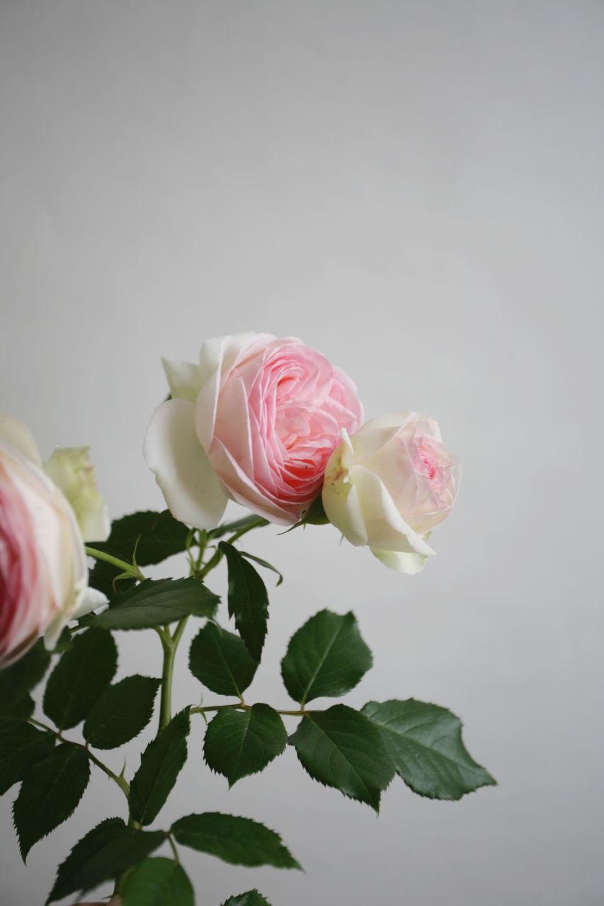 freshness, flowering plant, flower, beauty in nature, fragility, vulnerability, plant, petal, close-up, rose, plant part, leaf, flower head, inflorescence, rose - flower, nature, pink color, indoors, copy space, studio shot, no people, flower arrangement