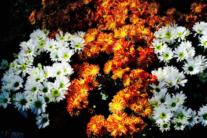Cemetery Beauty In Nature Botany Close-up Flower Head Flowerbed Flowering Plant Nature No People