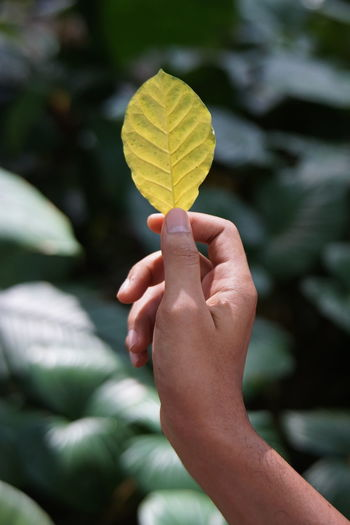 Close-up of hand holding yellow leaves