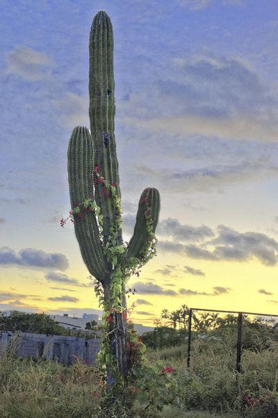 CARDON CON FLORES Desertic Sky And Clouds Beauty In Nature Cactus Cardon Cactus Cloud - Sky Field Growth Land Landscape Nature No People Outdoors Plant Saguaro Cactus Scenics - Nature Sky Succulent Plant Sunset Tranquil Scene Tranquility Wild Flowers 💐