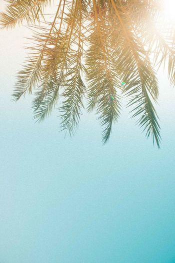 Oman Chapters Tree Plant No People Nature Sky Growth Day Low Angle View Beauty In Nature Clear Sky Tranquility Leaf Copy Space Palm Tree Tropical Climate Green Color Outdoors Plant Part Branch Needle - Plant Part Palm Leaf Coniferous Tree Directly Below