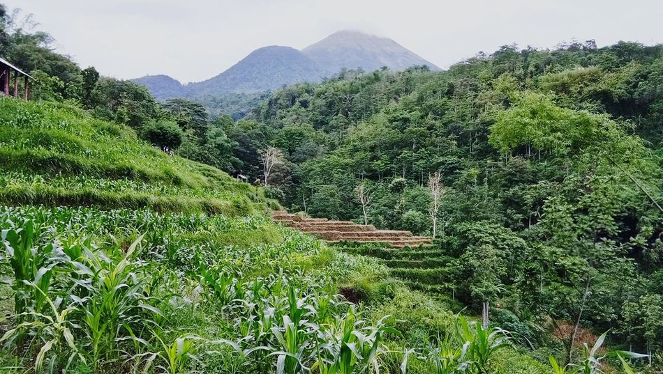 Eye Em Nature Lover Plantation On Hills Freshness Beauty In Nature Green Color Outdoors Mountain View Mountain Range Cornfields Paddy Fields