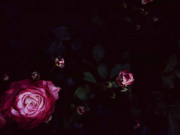 High angle view of pink roses blooming in park at night
