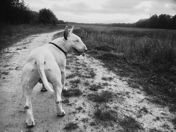 Bullterrier Biggie Domestic Animals Domestic Pets One Animal Mammal Dog Canine