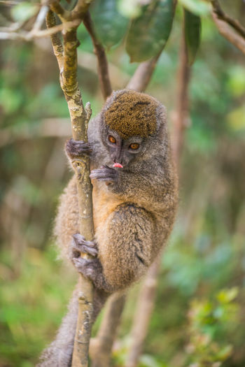 Eating Animals In The Wild Bamboo Leaf Close-up Lemur Lemur Catta Lémuriens Madagascar  Nature Portrait Wildlife Ziseetheworld Ziwang