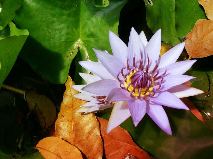 Au jardin - At the garden. Nature Flower Fragility Beauty In Nature Freshness Growth Flower Head Petal Leaf Plant Close-up Green Color Outdoors Lotus Water Lily Blooming No People Pollen Day Water EyeEmNewHere floating on water Martinique JardinDeBalata