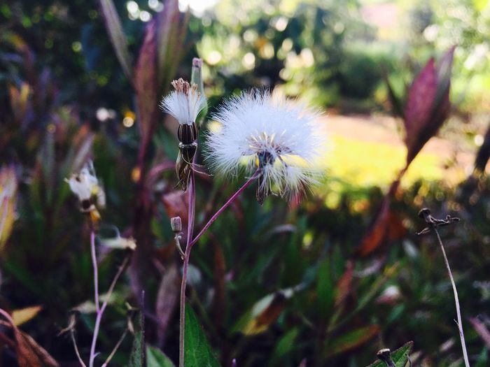 Beauty In Nature Flower Freshness Dandelion Seed