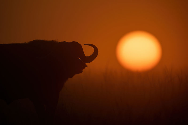 Cape buffalo stands silhouetted during misty sunrise