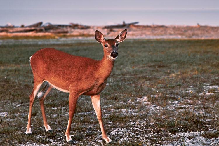 Portrait of deer on land