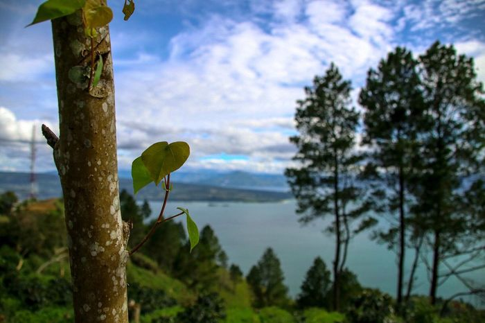 Tree No People Tree Trunk Sky Branch Nature Outdoors Green Color Photography Lake View Indonesia_photography LakeToba