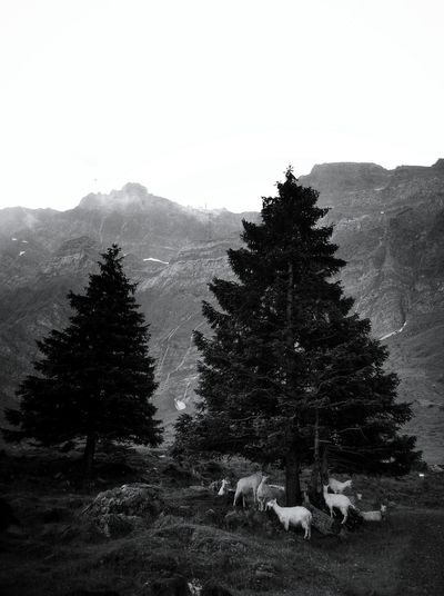 Landscape No People Nature Outdoors Tree Monochrome _ Collection Black & White Monochrome Collection Monochrome Photography Monochrome Photograhy Black And White Photography Mypointofview Taking Photos Switzerland Switzerland❤️ Weathered Goats Goat Goat Life Swiss Alps Landscape_Collection Landscape_photography Wildlife & Nature Wildlife Photography Alps The Photojournalist - 2017 EyeEm Awards The Great Outdoors - 2017 EyeEm Awards Your Ticket To Europe Been There. Done That. Lost In The Landscape