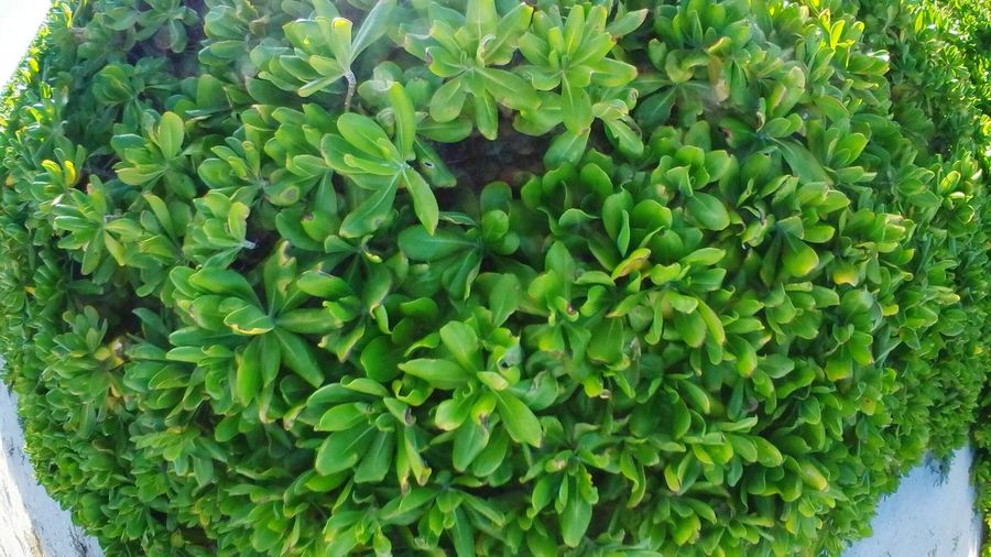 Beach plants Leaf Close-up Plant Green Color The Natural World Plant Life Backgrounds Succulent Plant Textured  Botany Detail
