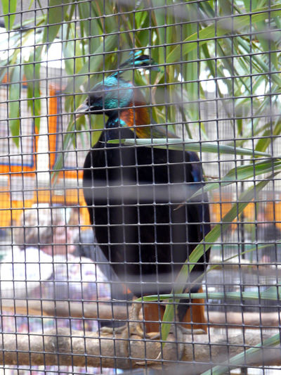 One time see perching, one time here Special Blue Head Bird Shoot Head Colored Lophophorus One Bird Lophophorus Impejanus Male Lophore Phasianidé Animals In Captivity Aviary Bird Bird In Captivity Birdcage Multi Colored Cyan Cyan Blue Ornemental Focus On Foreground Close Up Full Lenght