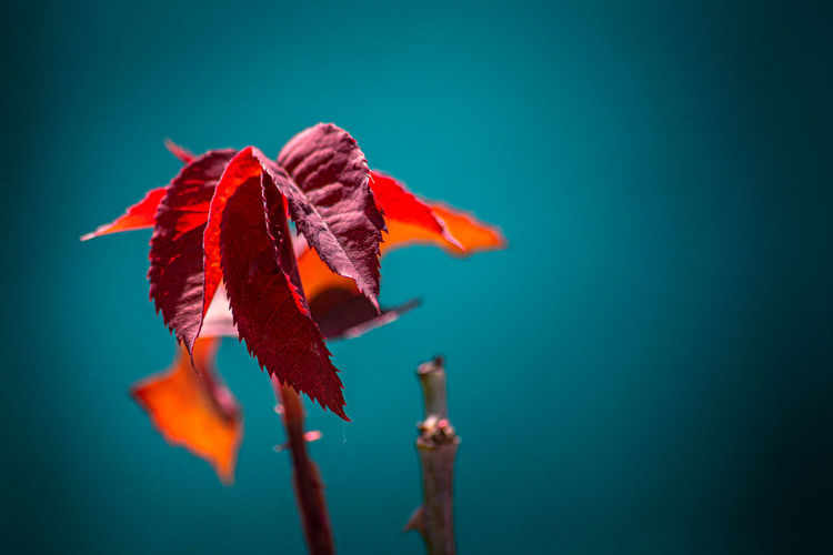 Close-up of red flower against blue background