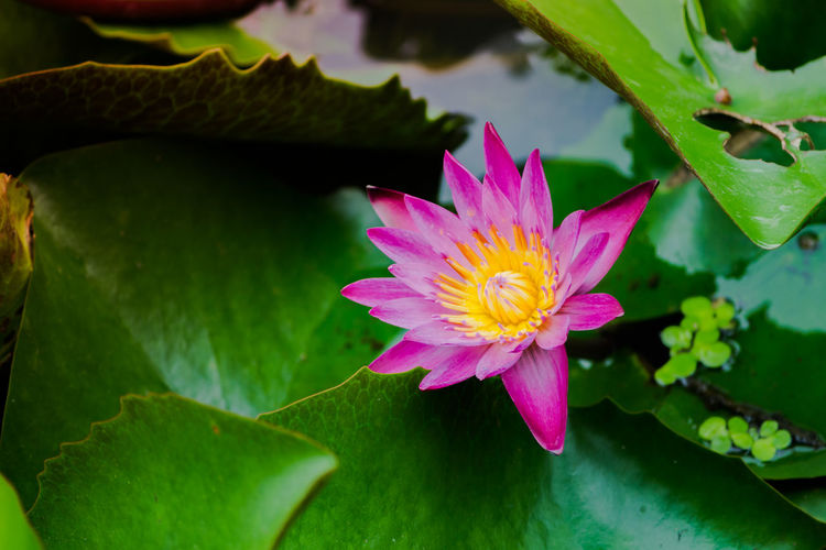 Beauty In Nature Close-up Floating On Water Flower Flower Head Flowering Plant Fragility Freshness Growth Inflorescence Leaf Lotus Water Lily No People Petal Pink Color Plant Plant Part Pollen Pond Purple Vulnerability  Water Water Lily