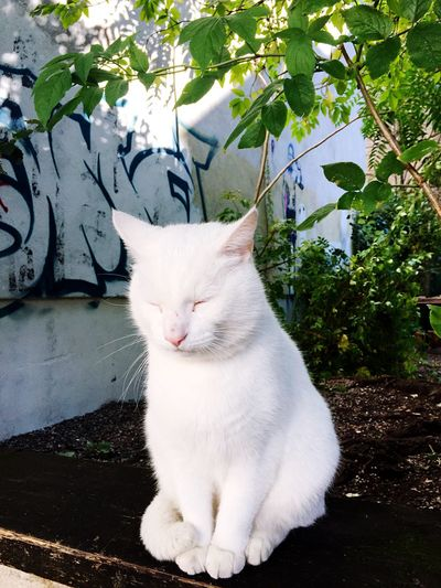 One Animal Domestic Cat Animal Themes Pets Domestic Animals White Color Feline Mammal Sitting No People Day Nature Outdoors Close-up Berlin Cat Fluffy