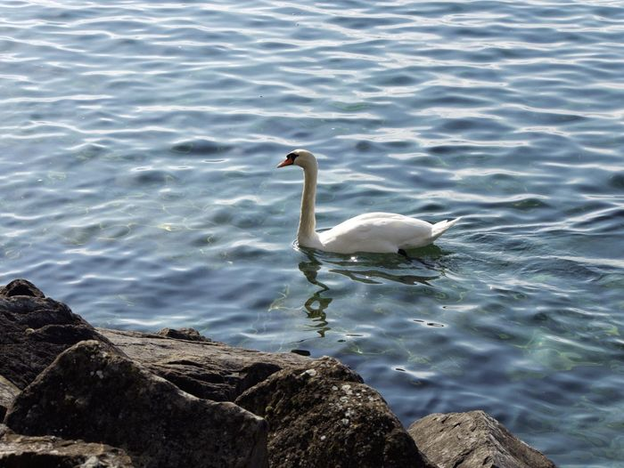 Animals In The Wild Animal Themes Lake Swan Water White Color Animal Wildlife Nature No People Water Bird Switzerlandpictures Eyeem Switzerland Switzerland EyeEmSwiss The Week On EyeEm Montreux Beauty In Nature Swimming