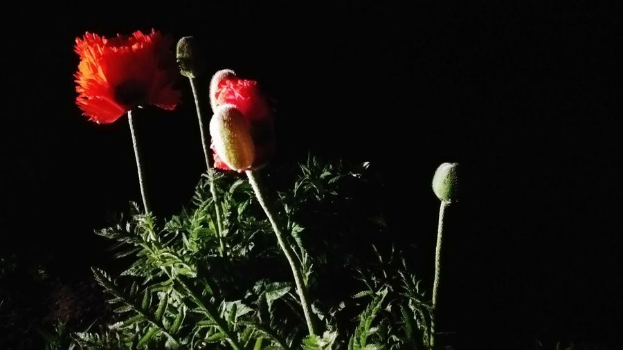 The Great Outdoors - 2017 EyeEm Awards Night Black Background Plant Growth Outdoors Flower Close-up Blumenfotografie Blätter, BYOpaper Blumen,Blomster, Flower. Nachtfotografie Nacht Deutschland Nachtaufnahme Flower Head Night View Nightshot Nachts Mohnblume Mohnblüte Red Fragility