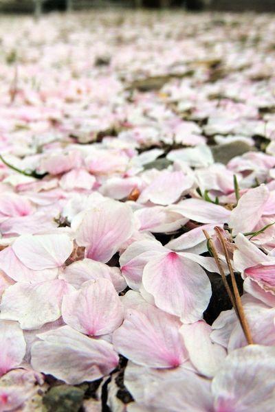 今日は秋田に出張! 桜もちょっと散りかけかな? Flowers Sakura Nature Macro