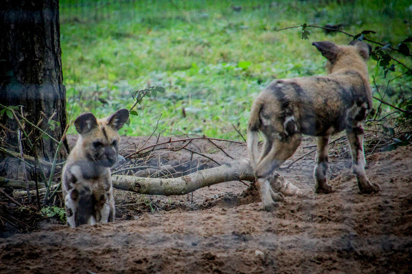 Animal Animal Photography Animal Themes Animal_collection Animals Day Mammal Nature No People Outdoors Wild Dog Wild Dogs Wilddog