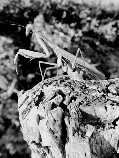 Praying Mantis Gottesanbeterin Insekt Insect Nature grün Green Animal Themes No People Beauty In Nature Black And White Outdoors day Riegersburg Austria Styria
