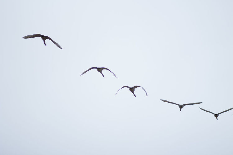 Bird Flying Animal Themes Vertebrate Animals In The Wild Animal Animal Wildlife Group Of Animals Mid-air Spread Wings Sky No People Low Angle View Nature Clear Sky Copy Space Beauty In Nature Flock Of Birds Day Motion Swans Flying Swans Blue Sky Tysslingen