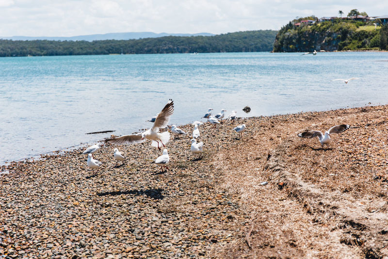 Animal Themes Animal Wildlife Animals In The Wild Beach Beauty In Nature Bird Day Flying Lake Lake Macquarie Mammal Nature No People One Animal Outdoors Scenics Seagull Sky Spread Wings Tree Water