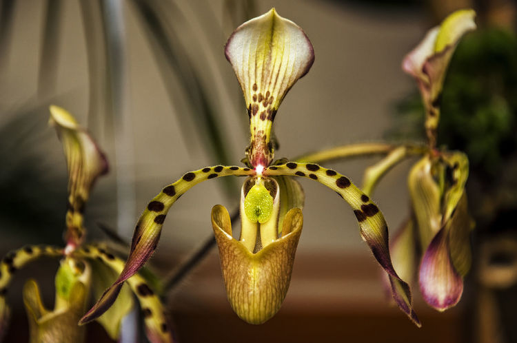 A closeup of a paphiopedilum haynaldianum orchid. Beauty Bloom Blossom Botany Close Colombia Colorful Day Delicate Elegant Flower Macro Natural Nature Ornamental Outdoors Paphiopedilum Paphiopedilum Orchid Philippines Plant Plant Popayán Purple Tropical Yellow