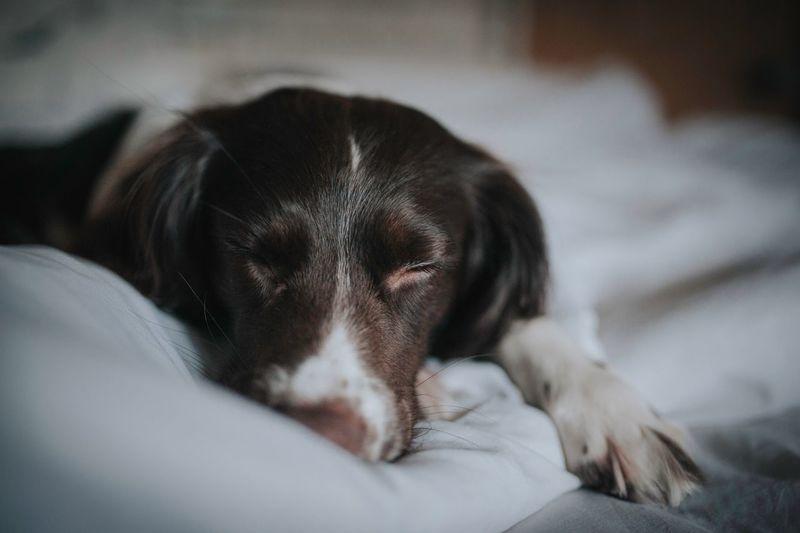 Dog Dog Love Dogsleeping Dogslife Sleep Peaceful Bed Springer Spaniel Dogs