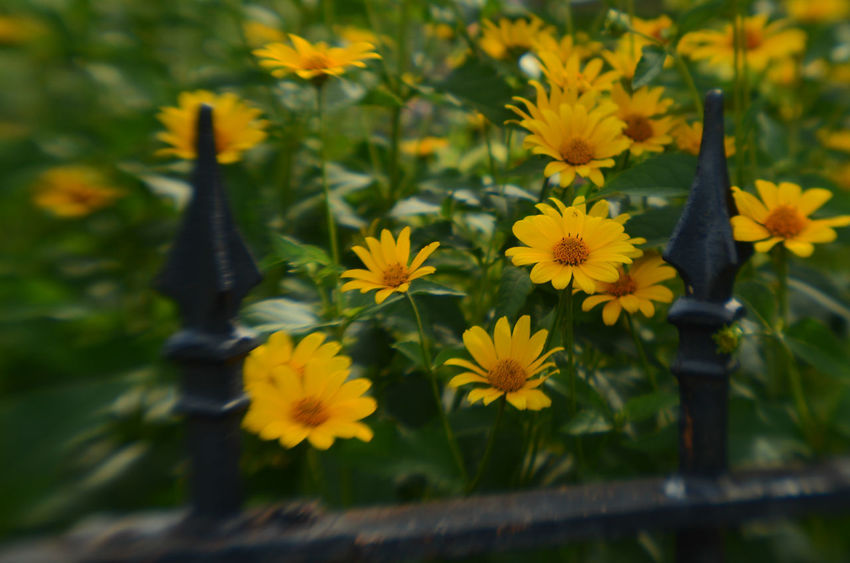 soft focus vintage style yellow flowers blooming in garden with black wrought iron fence Daisy Flower Fence Flower Flowers Garden Garden Flowers Lensbaby  Lensbaby Photograph Lomo Lomography No People No People Outdoors Outdoors Soft Focus Vintage Style Wrought Iron Wrought Iron Fence Yellow Flower