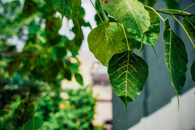 Leaf Plant Part Plant Green Color Growth Close-up Nature Day No People Beauty In Nature Tree Outdoors Freshness Leaves Bodhi Tree Bodhi Leaf Bodhitree Green Color